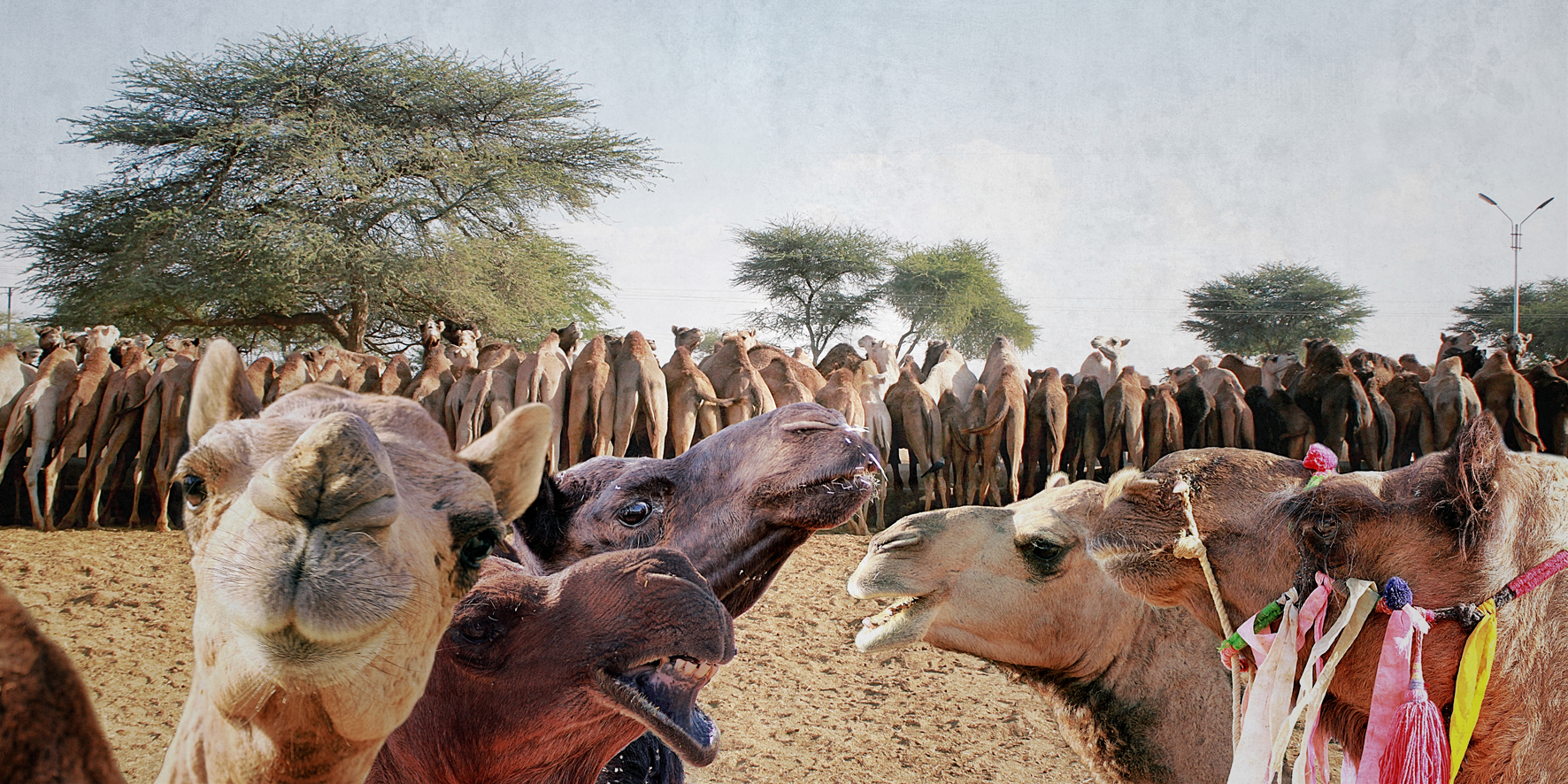 Kamelmilch. National Research Centre on Camels. Fotocollage, C-Print, kaschiert mit Acryl