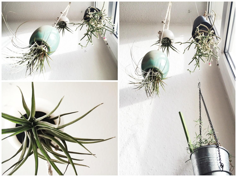 Air Plants.
