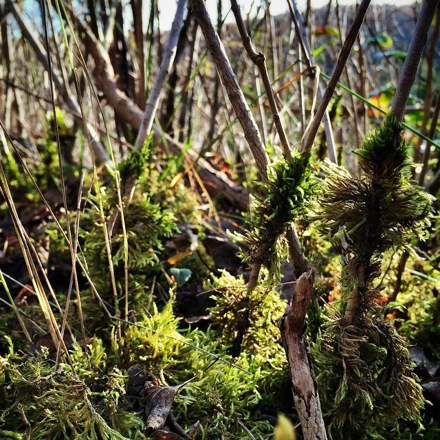 Little moss-forrest.   Kleiner Moos-Wald.