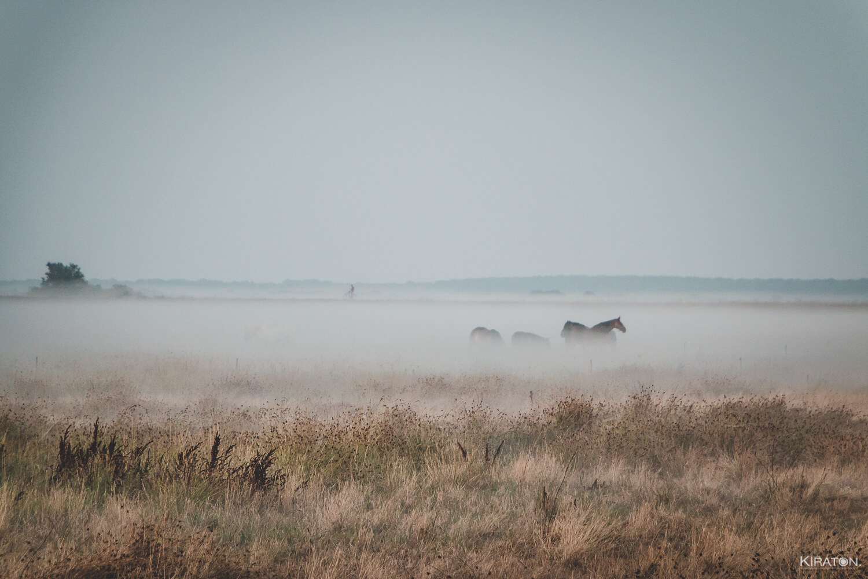 Feld auf Hiddensee, auf dem im Nebel Pferde grasen.